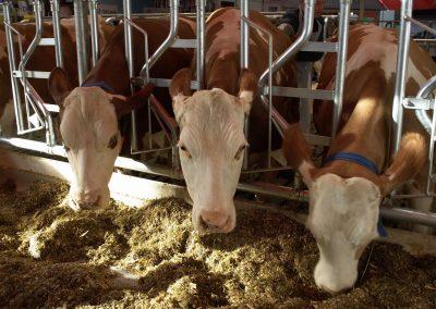 Ook koeien moeten insecten eten, is het idee
