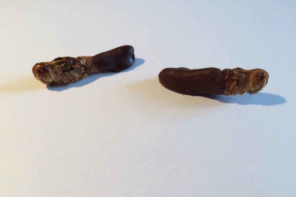 Chocolade sprinkhanen